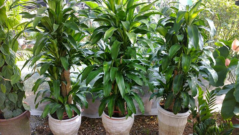 Thiết Mộc Lan có tên gọi khác là cây phát tài, nguồn gốc từ Châu Phi
