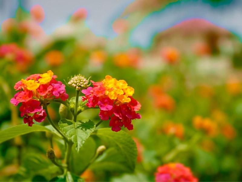 Hoa ngũ sắc thể hiện được sự vươn lên trong cuộc sống