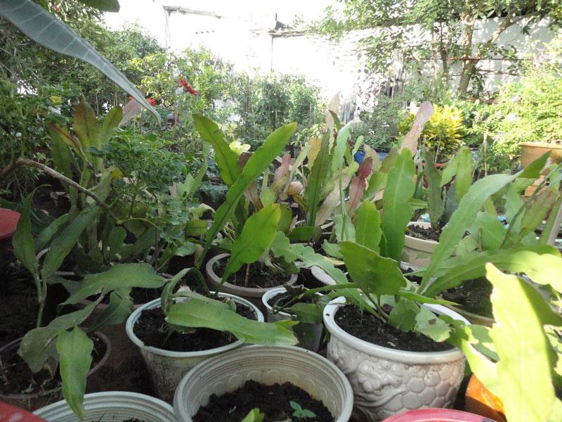 Trồng hoa Quỳnh cần chọn đất và chọn giống
