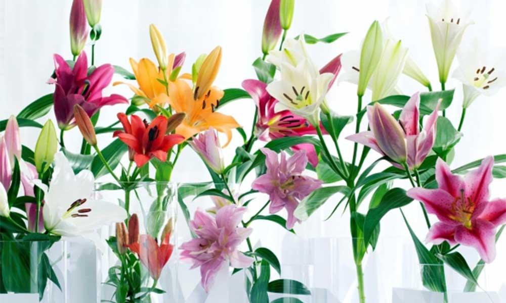Nguồn gốc và đặc điểm của hoa Ly