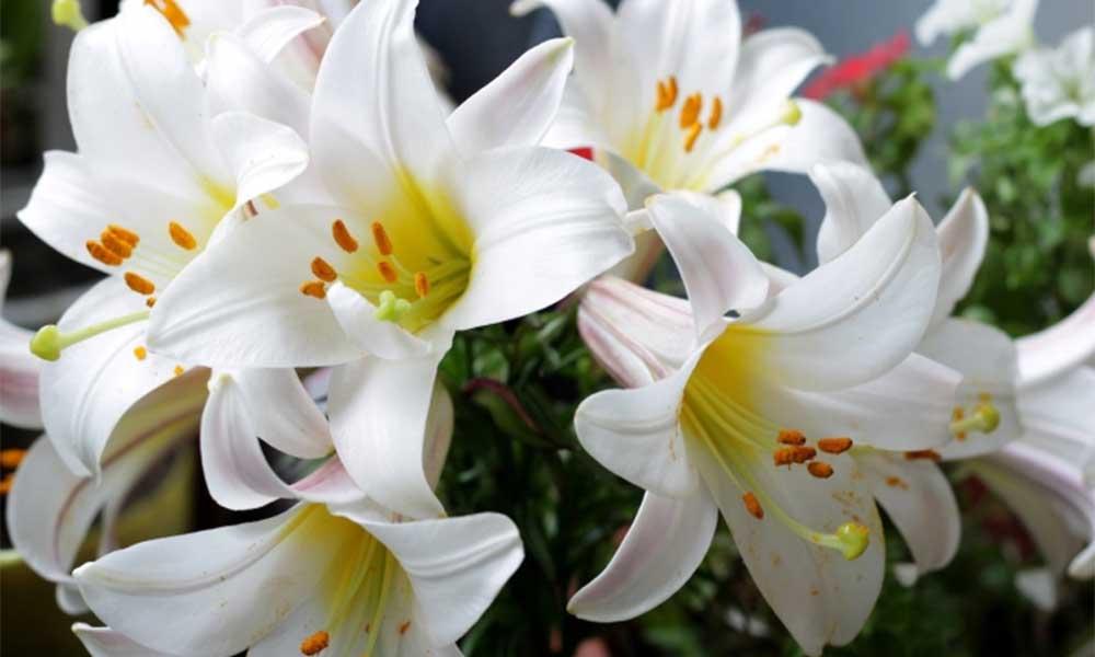 Ý nghĩa của hoa ly trong tình yêu